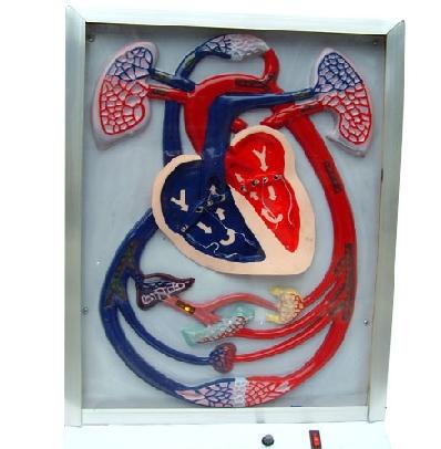 肺的模型结构图